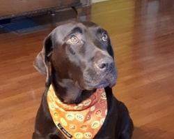Halloween Pumpkin Dog Bandana (collar through)