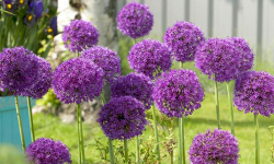 Purple Sensation | Allium