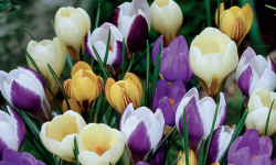 Botanical Mix | Snow Crocus