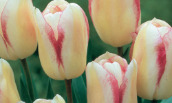 Blushing Girl Tulip