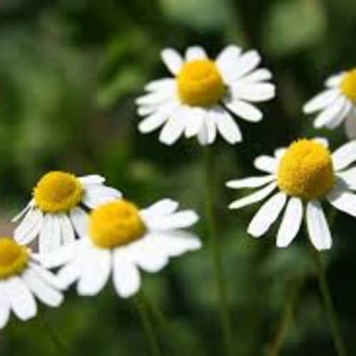 Chamomile German Essential Oil | Organic