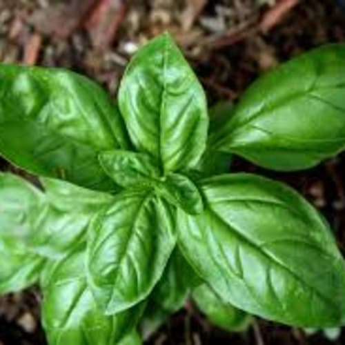 Basil Essential Oil | Organic