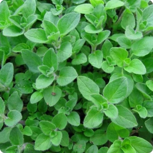 Marjoram, Sweet Essential Oil | Organic