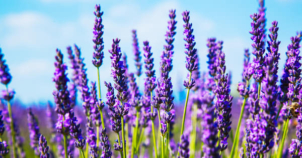 Lavender Buds | French