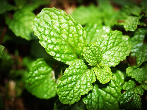 Spearmint Dried Herb