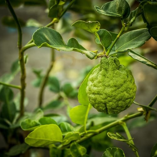 Bergamot Essential Oil | Organic