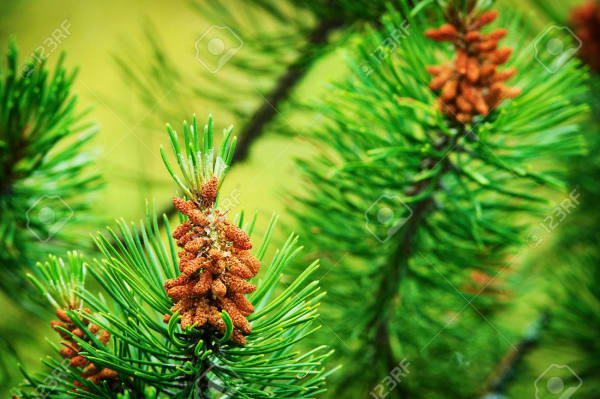 Scotch Pine Essential Oil | Organic