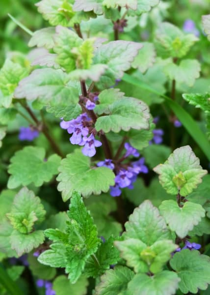 Catnip Essential Oil | Organic