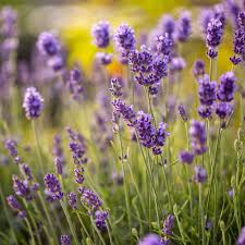 Lavender Buds | English