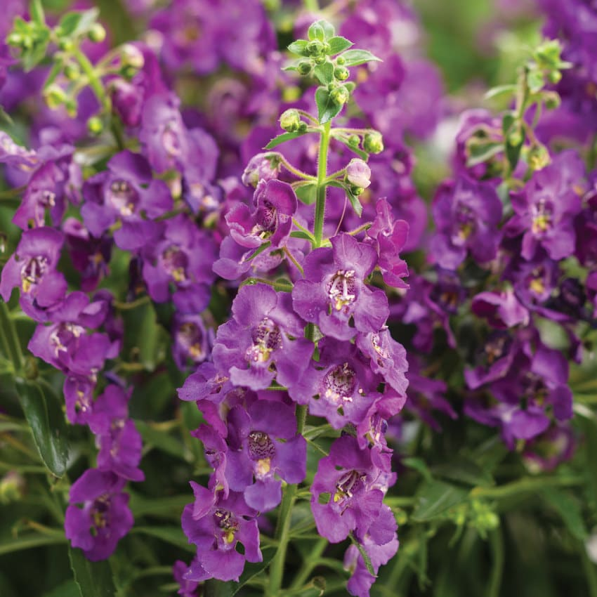 Proven Winners® Angelonia Angelface®