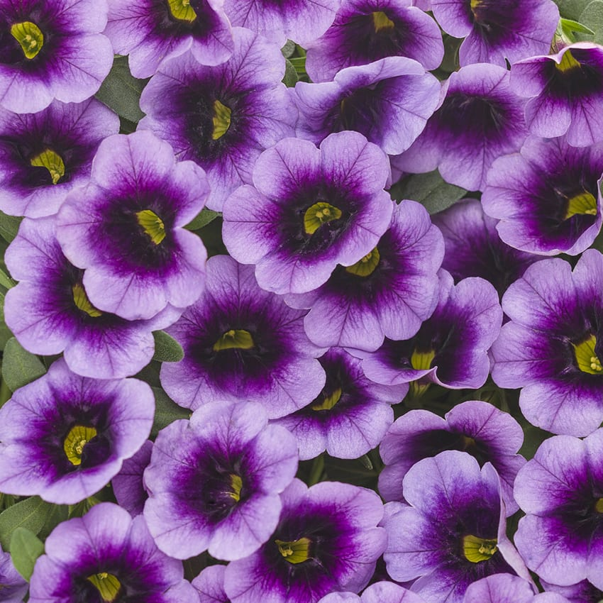 Proven Winners® Calibrachoa Superbells®