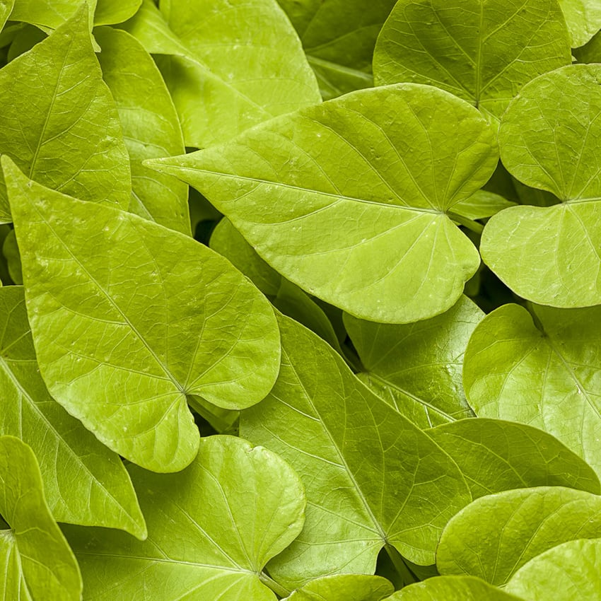 Proven Accents® Ipomoea