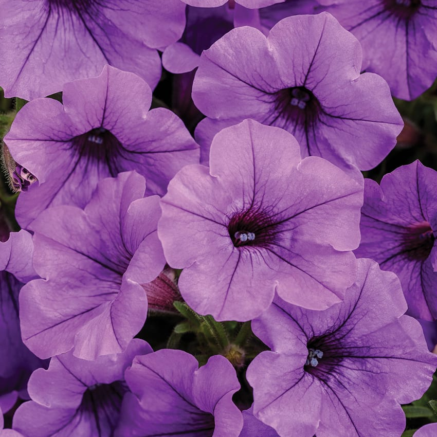 Proven Winners® Petunia Supertunia®
