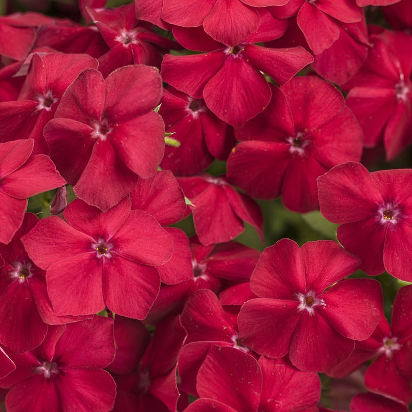 Proven Winners® Phlox Intensia®