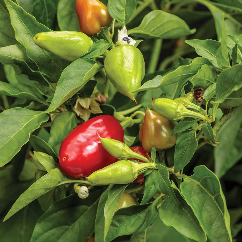 Proven Harvest® Capsicum Fire Away™ Hot and Heavy