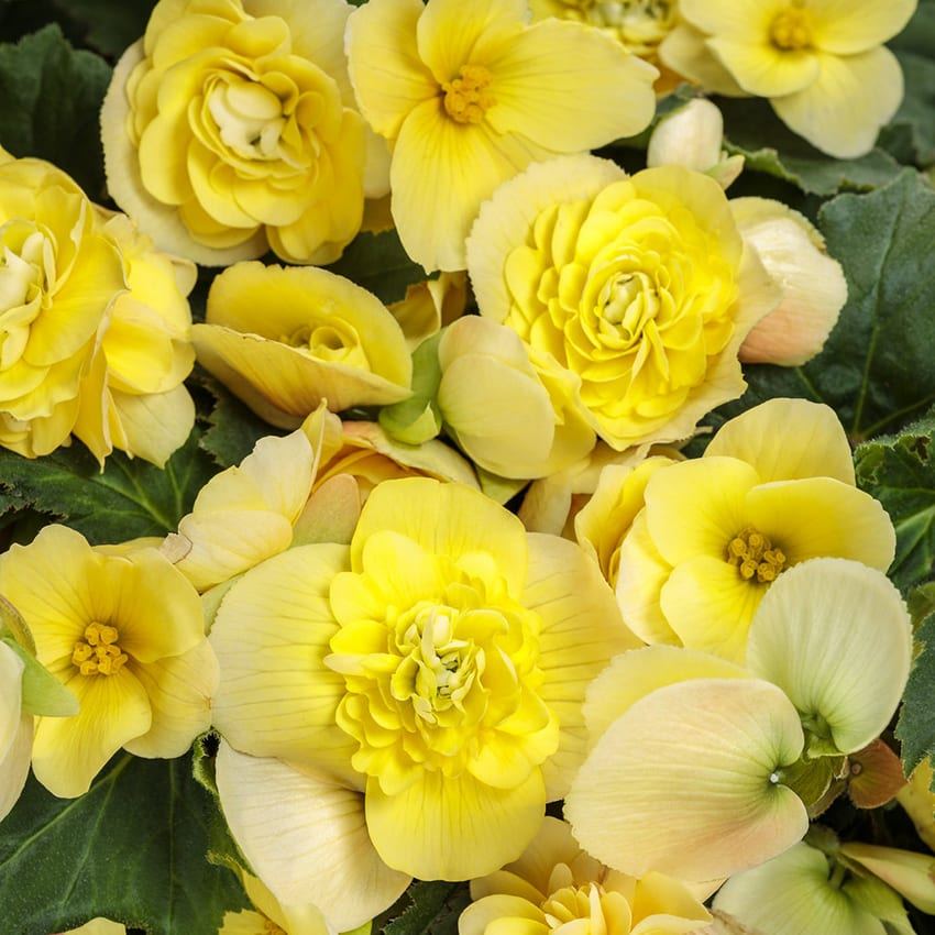 Proven Winners® Begonia Double Delight®