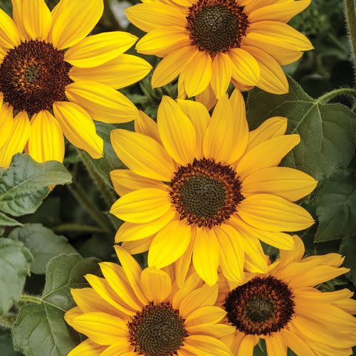 Proven Winners® Helianthus