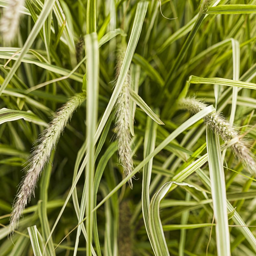 Proven Winners® Graceful Grasses®