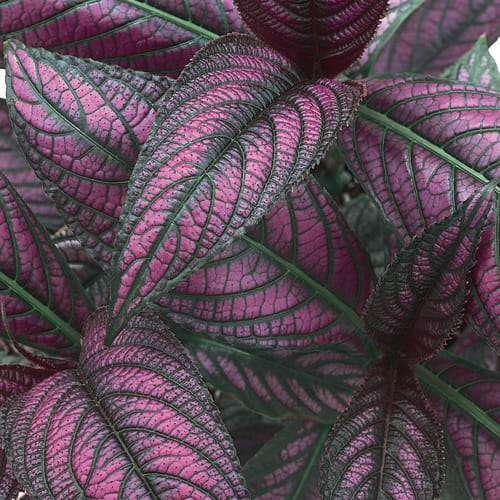 Proven Selections® Strobilanthes®