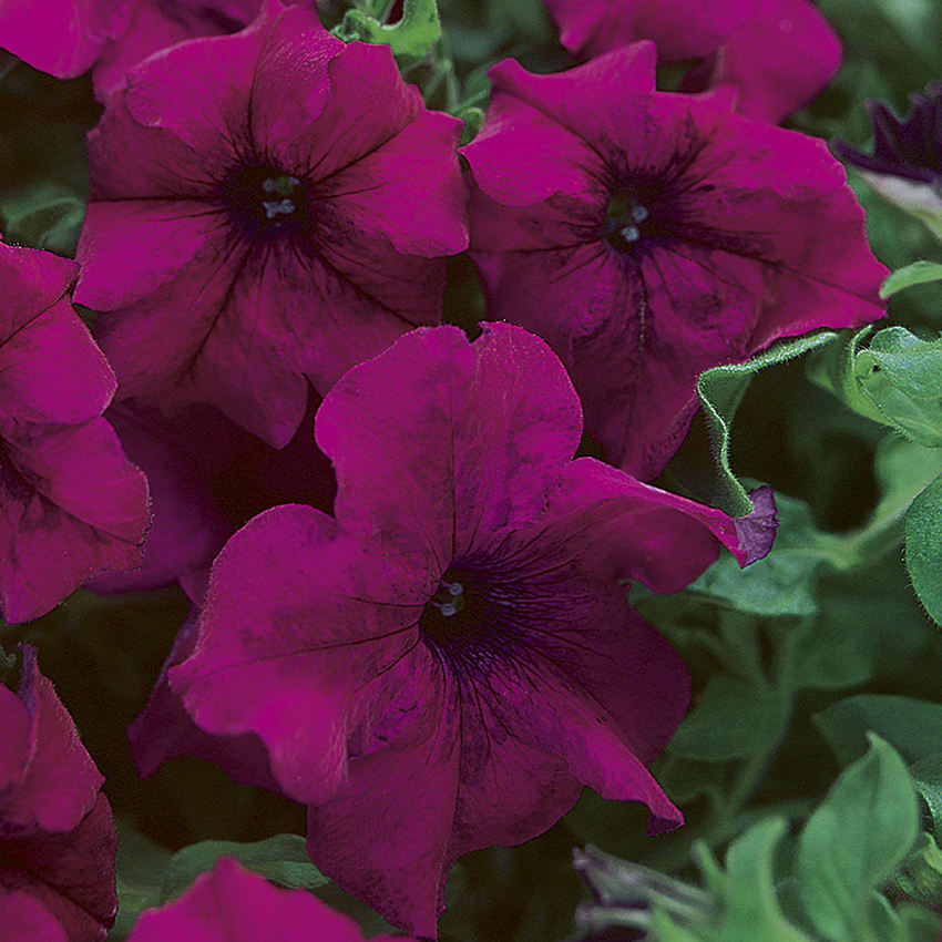 Proven Selections® Petunia Surfinia®