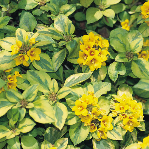 Proven Selections® Lysmachia®