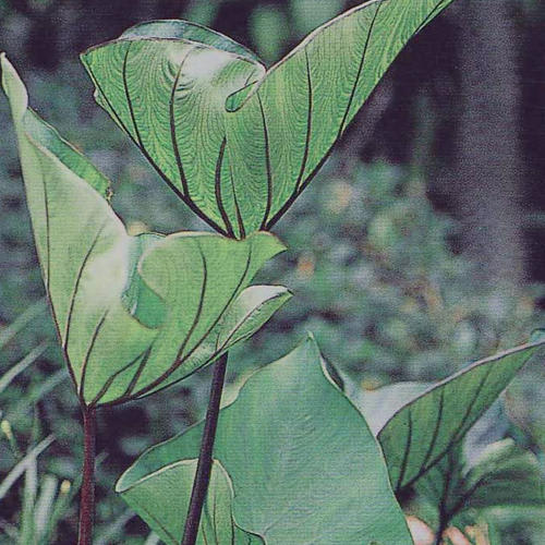 Proven Winners® Colocasia