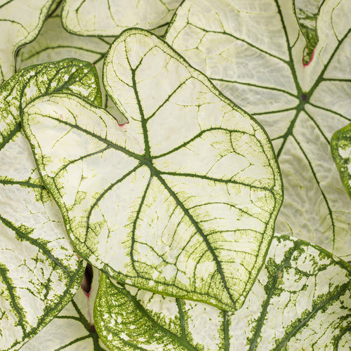 Proven Winners® Caladium