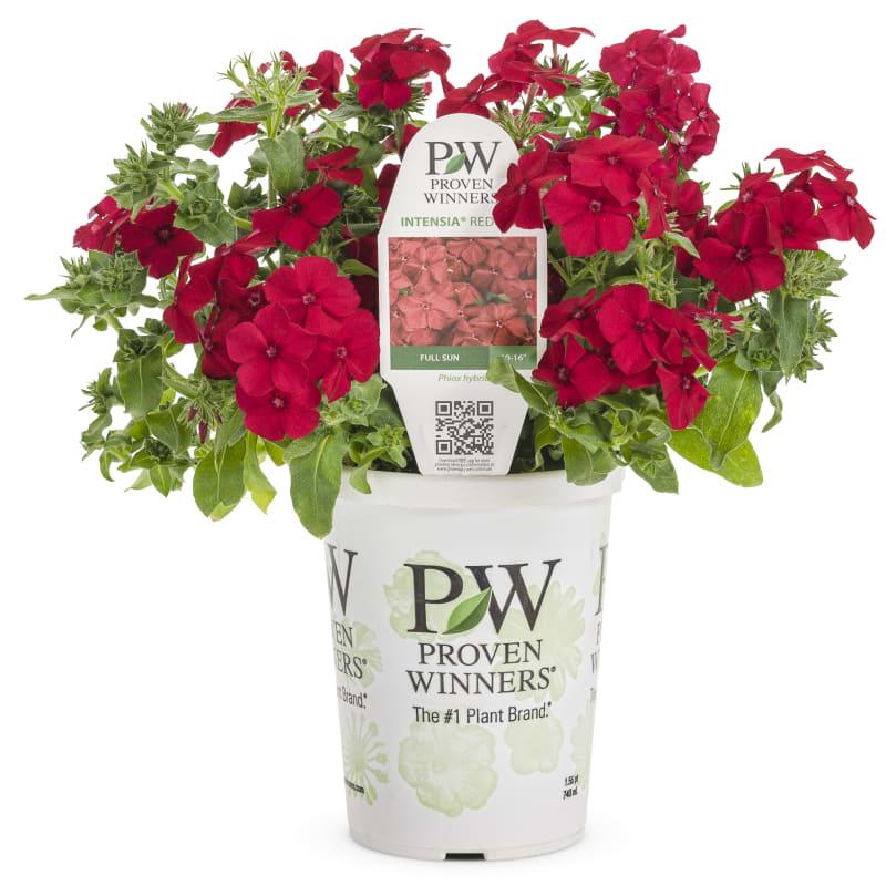 Proven Winners® Phlox Intensia®