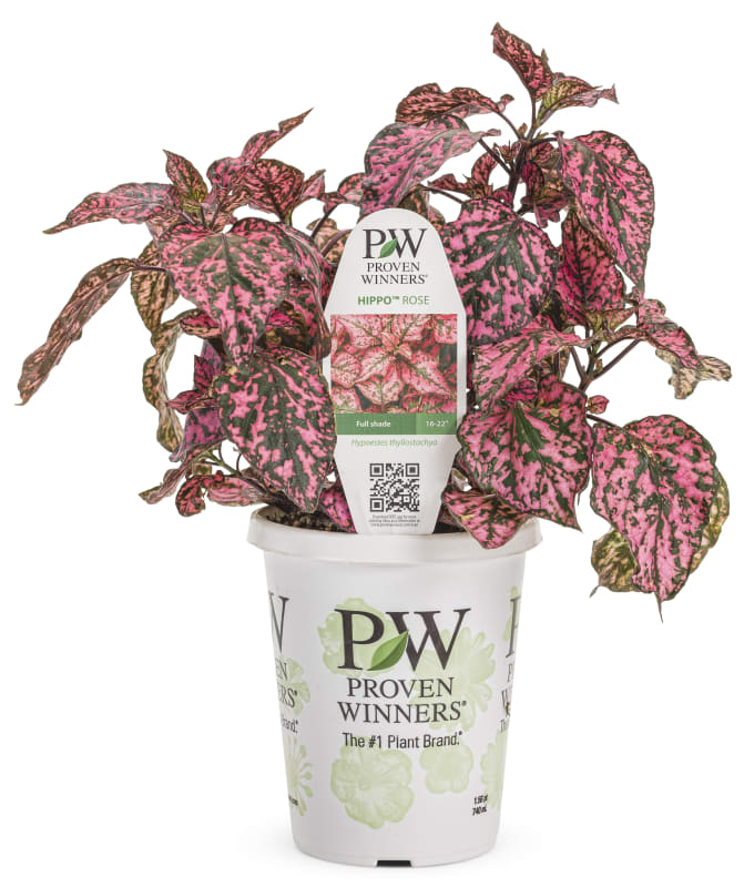 Proven Winners® Hypoestes
