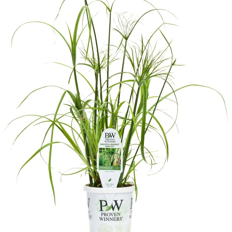 Proven Winners® Graceful Grasses®