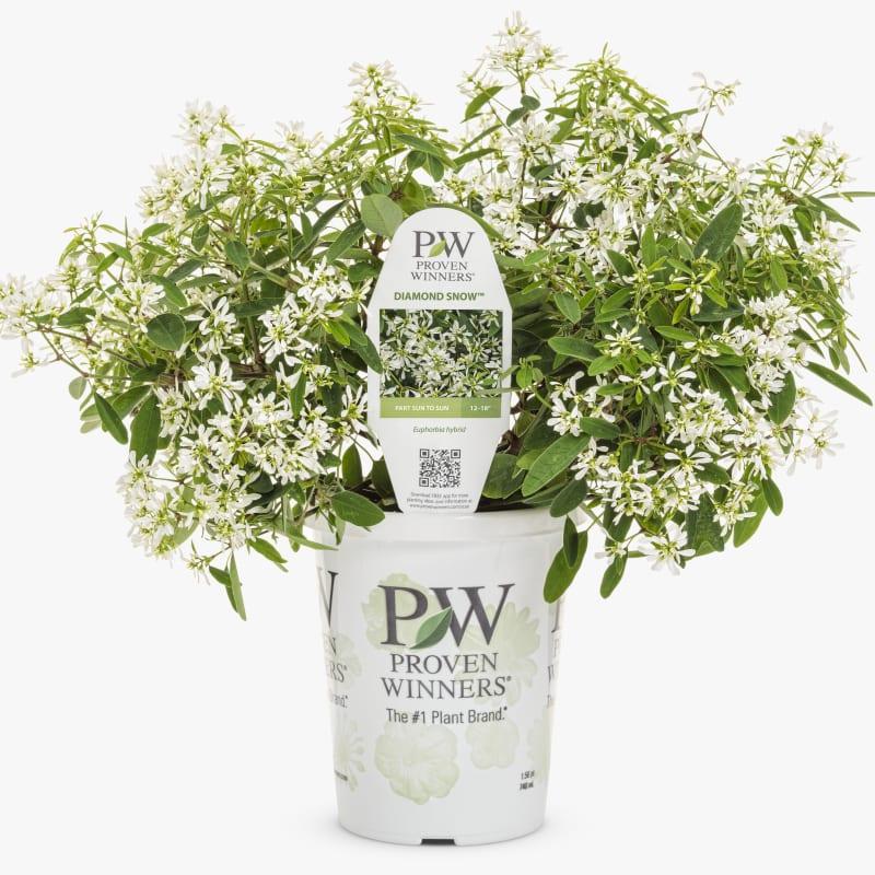 Proven Winners® Euphorbia