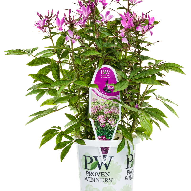 Proven Winners® Cleome