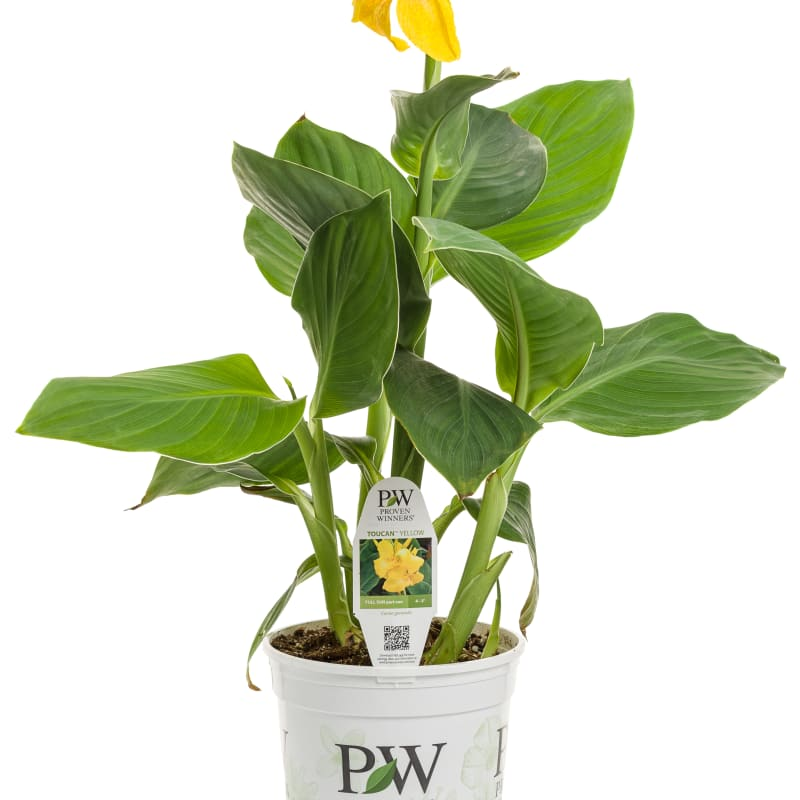 Proven Winners®  Canna Toucan®