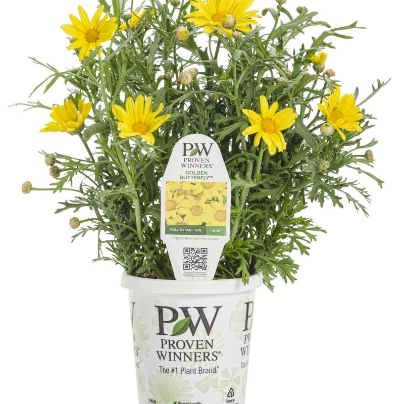 Proven Winners® Argyranthemum