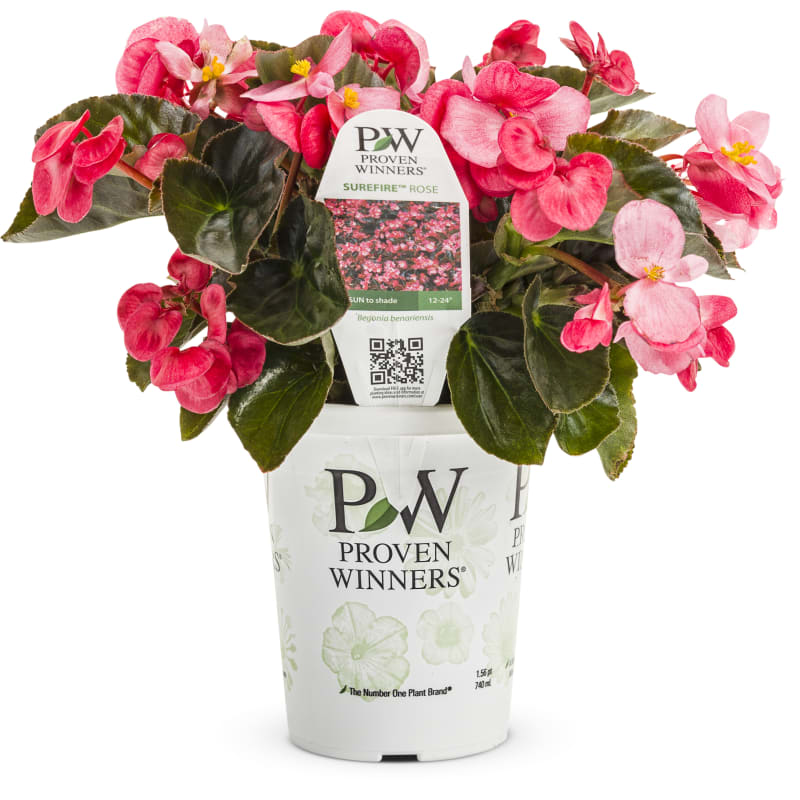 Proven Winners® Begonia Surefire®