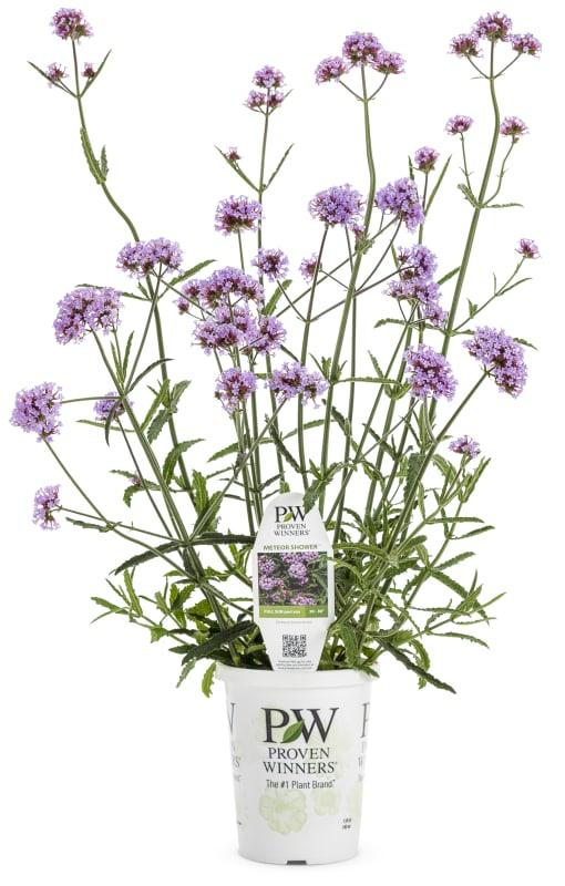 Proven Winners® Verbena bonariensis