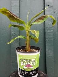 Banana Plant   Dwarf Cavendish Musa