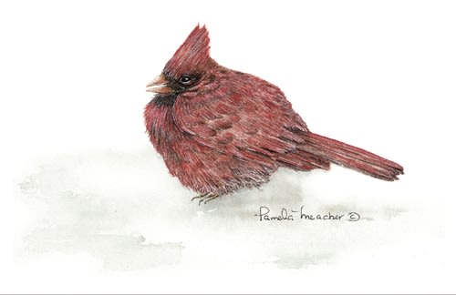 Cardinal - Reproduction Watercolour